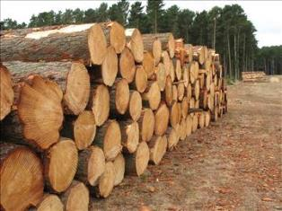 Ghana to begin importing timber business world ghana Pine tree timber