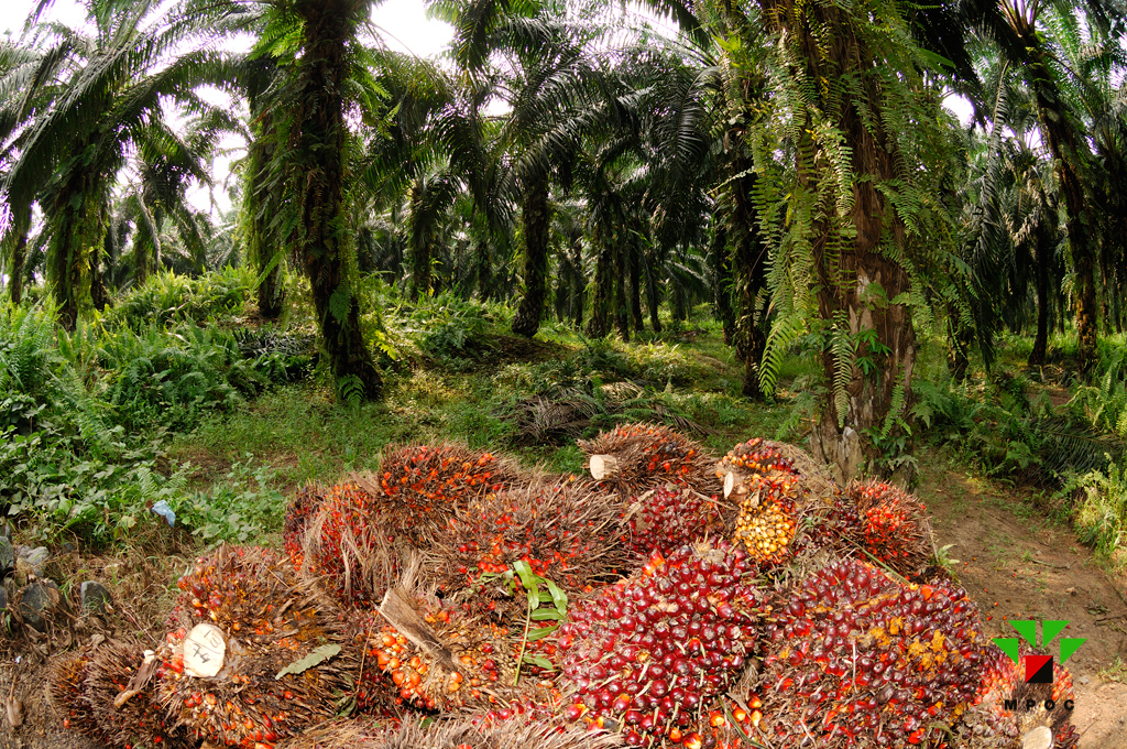 palm oil and oil palm All the latest breaking news on palm oil browse the independent's complete  collection of articles and commentary on palm oil.